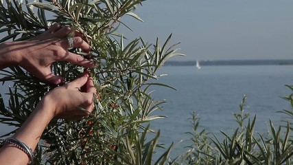 Stock Video Footage Sea Buckthorn Berry