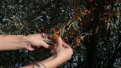 Seabuckthorn against the sea