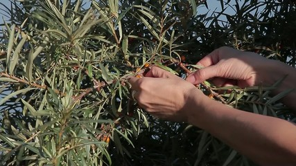 Stock Video Footage Buckthorn Berry Female hand