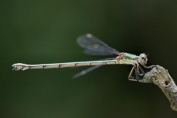 Lestes parvidens, female