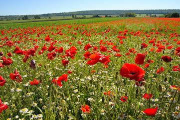 Wiese mit Mohnblumen und Kamille