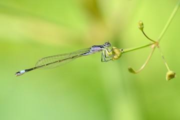 Ischnura elegans, yuong female