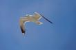 canvas print picture - Fliegende Möwe
