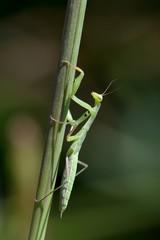 Mantis religiosa, neànide