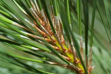 Nature's Abstract - Pine Needles