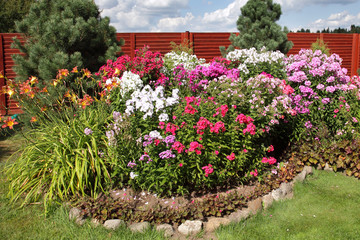 multicolored flowerbed flowering phlox on a sunny day