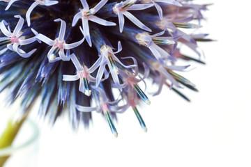 echinops bannaticus