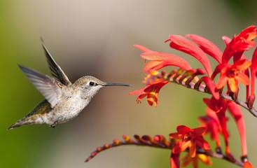 Annas Hummingbird Eying Crocosmia Flowers