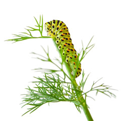 The Caterpillar of the Machaon Butterfly