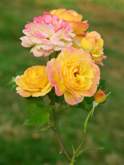 Varied colors in the rose garden