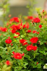 bush of red roses in garden outdoor