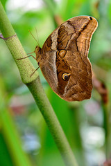 Tawny Owl Butterfly in nature