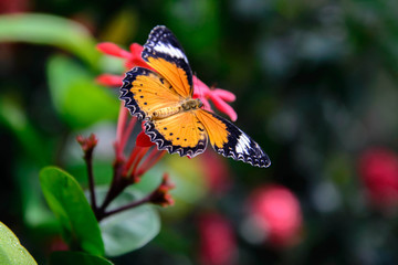 orange and black Plain Tiger butterfly on a pink flower