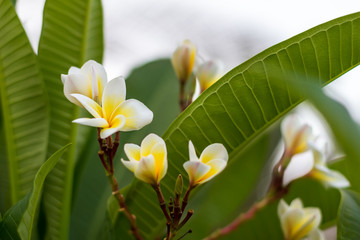 Frangipani_many_flowers