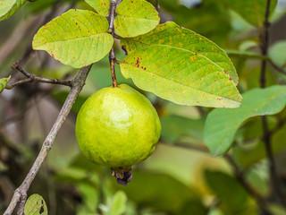 Guava fruit.