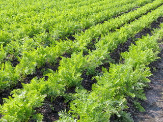 Field of carrots