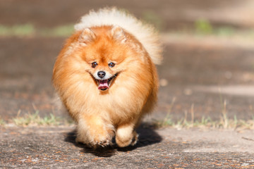 Pomeranian dog running on the road in the garden