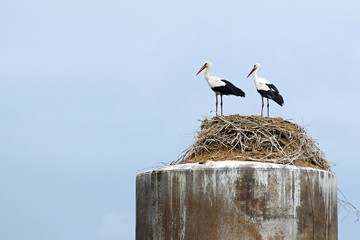 couple of storks stand together in a nest