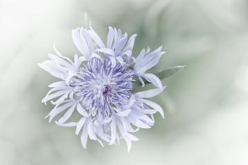 Feine Wiesenblume