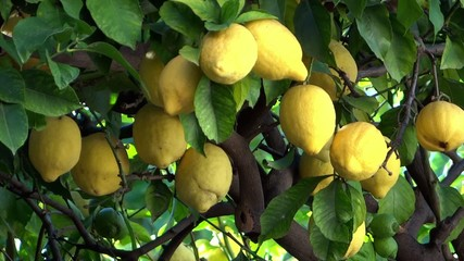 lemon tree close up