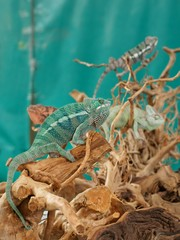 Madagascar Chameleons in the terrarium on the roots
