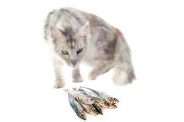 maine coon cat and cat food