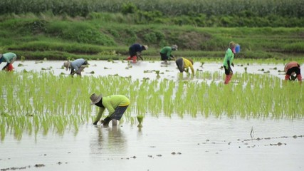 Group of farmer working hard on rice field