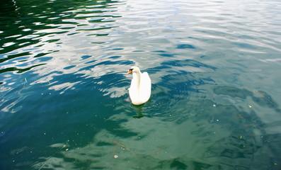 Swan on the Zeller See Lake