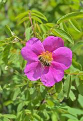 Flower of brier 5