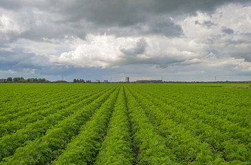 Clouds over carrots growing in a field
