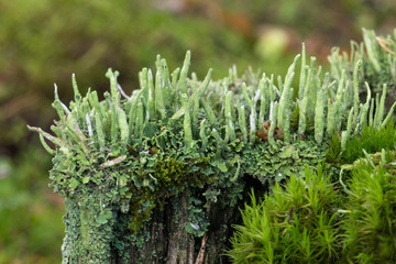 Cladonia cornuta lichens and moss on top of a tree stump