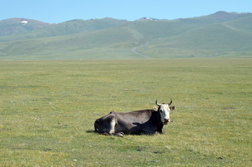 Cow is resting on a mountain pasture
