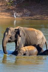 baignade éléphants sri lanka yala