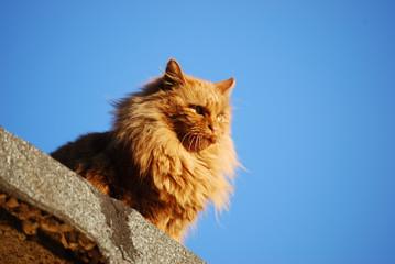 Gatto rosso3