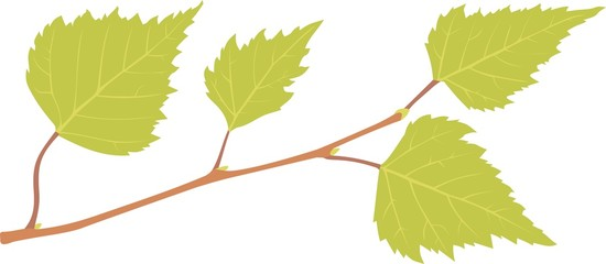 Birch branch with green leaves