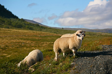 Sheep in Dovre