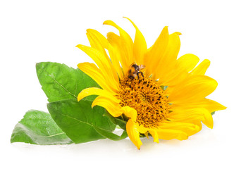 Sunflower with bumblebee isolated on white background