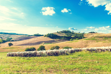 Tuscan sheep on green grass in the background of a beautiful lan