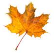 Maple leaf - 69198654