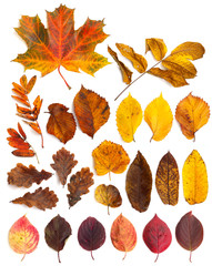 Set of  beautiful autumn leaves