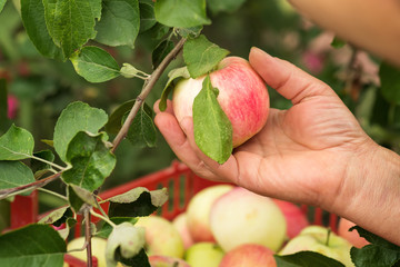 Picking a ripe apples in the garden