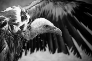 Griffon vulture detail of head with outspread wing
