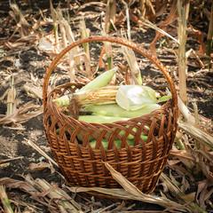 Freshly corn in the basket. harvesting