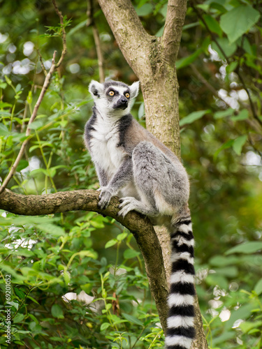 Foto op Aluminium Aap Lemur kata sitting on branch in bushy vegetation
