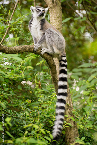 Foto op Canvas Aap Lemur kata sitting on branch in bushy vegetation