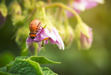 Larva of the Colorado potato beetle on a flower potato
