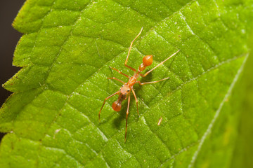 Kerengga ant-like jumper spider in the nature