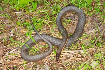 Queen Snake (Regina septemvittata) Illinois