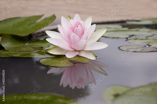 Staande foto Lotusbloem Pink lotus flot on the river gardent