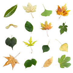 Isolated leaves of  various trees on white background
